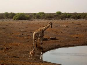 Giraffe am Wasserloch im Etosha