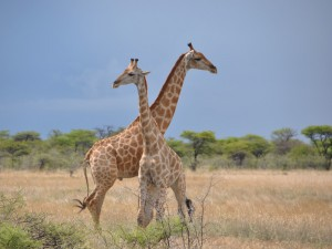 Giraffen Etosha Nationalpark Namibias Norden