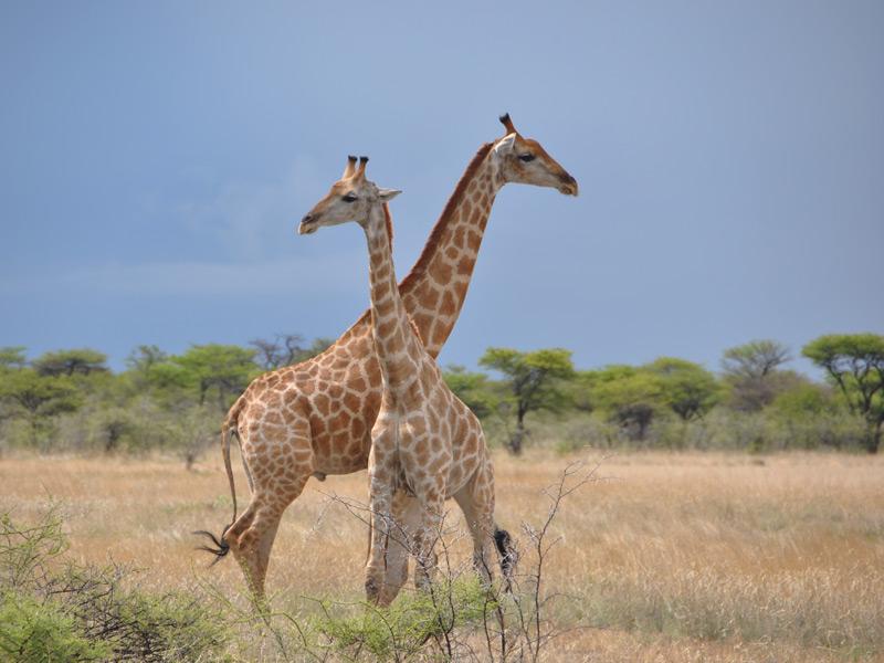 Namibia - Giraffen im Etosha Nationalpark
