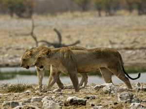 Löwinnen im Etosha Nationalpark