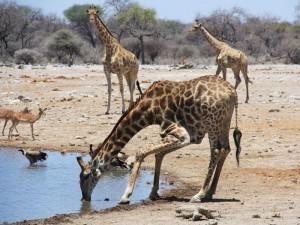 Namibia - Etosha Nationalpark - Giraffen trinken am Wasserloch