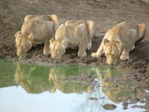 Namibia - Trinkende Löwen im Etosha