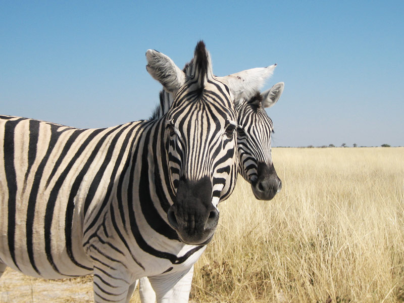 Namibia Highlights Zebra Etosha Nationalpark
