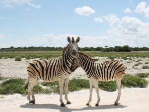 Zebra mit Fohlen im Etosha Nationalpark