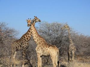 Namibia - Giraffen im Etosha Nationalpark - Highlights Namibia