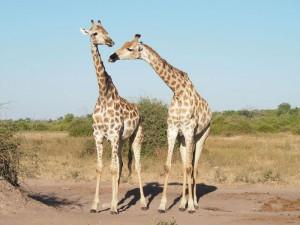 Giraffenpaar im Etosha