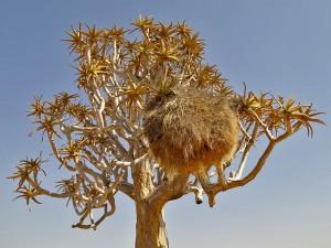 Siedelweber Vogelnest in der Kalahari - Namibia Rundreise Selbstfahrer