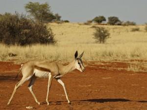 Gazellen sind in der Kalahari Ihre ständigen Begleiter