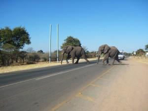 Elefanten überqueren die Straße bei Kasane