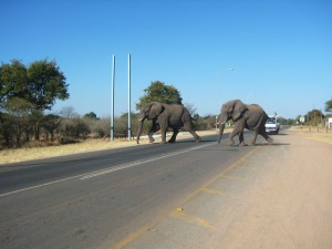 Botswana - Kasane - Elefanten überqueren die Straße bei Kasane - Namibia Botswana