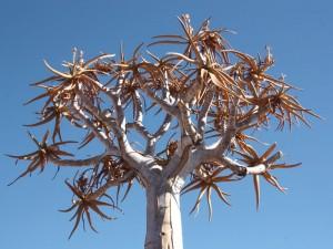 Köcherbaum bei Keetmanshoop