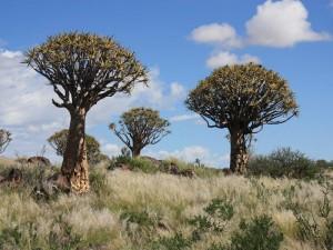 Köcherbäume Keetmanshoop Namibias Süden Camping