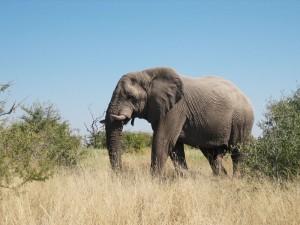 Botswana - Moremi Game Reserve - Elefantenbeobachtung auf Safari in Botswana
