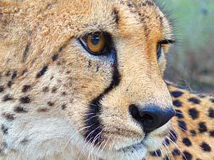 Makgadikgadi Salzpfannen Botswana Rundreise Gepard