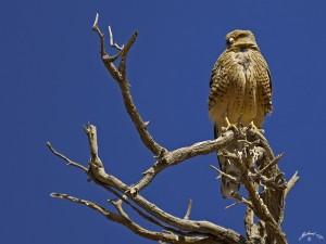 Vogel in der Namib Wüste