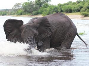 Elefant im Wasser im Okavango Delta