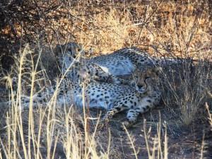 Namibia - Geparden beim Besuch der Africat Foundation - Namibias Norden