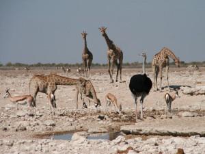 Namibia - Tiere am Wasserloch im Etosha Nationapark - Rundreise Namibia Botswana