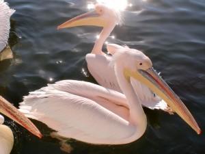 Namibia - Badende Pelikane bei Swakopmund - Namibia Botswana