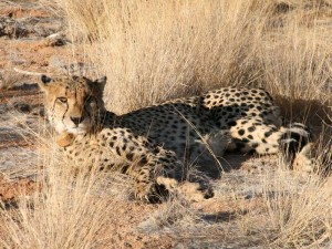 Namibia - Waterberg Plateau - Cheetah Conservation Fund - Namibia mit Kindern