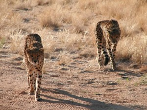 Namibia - Geparden am Waterberg - Namibia Highlights