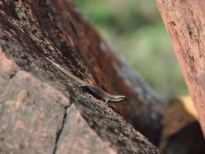 Salamander am Waterberg