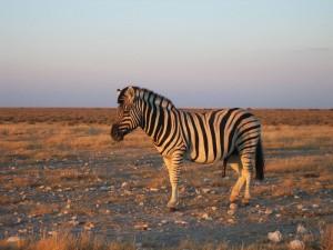 Zebra im Sonnenuntergang