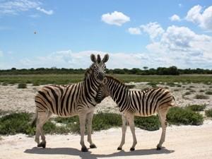 Namibia - Etosha Nationalpark - zwei Zebras im Etosha - von Windhoek zu den Victoria Fällen