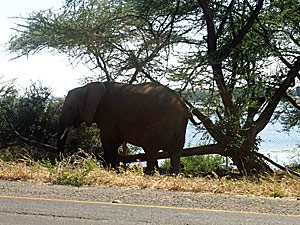 Botswana - Kasane - Ein Elefant am Straßenrand in Botswana - von Windhoek zu den Victoria Fällen