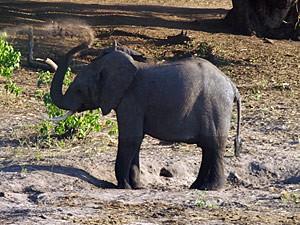 Botswana - Chobe Nationalpark - Kleiner Elefant im Chobe - von Windhoek zu den Victoria Fällen