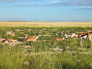 Namibia - Etosha Nationalpark - Eine Gruppe Springböcke Im Etosha Nationalparl - von Windhoek zu den Victoria Fällen