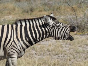 Namibia - Zebra im Etosha Nationalpark - 2 Wochen Namibia