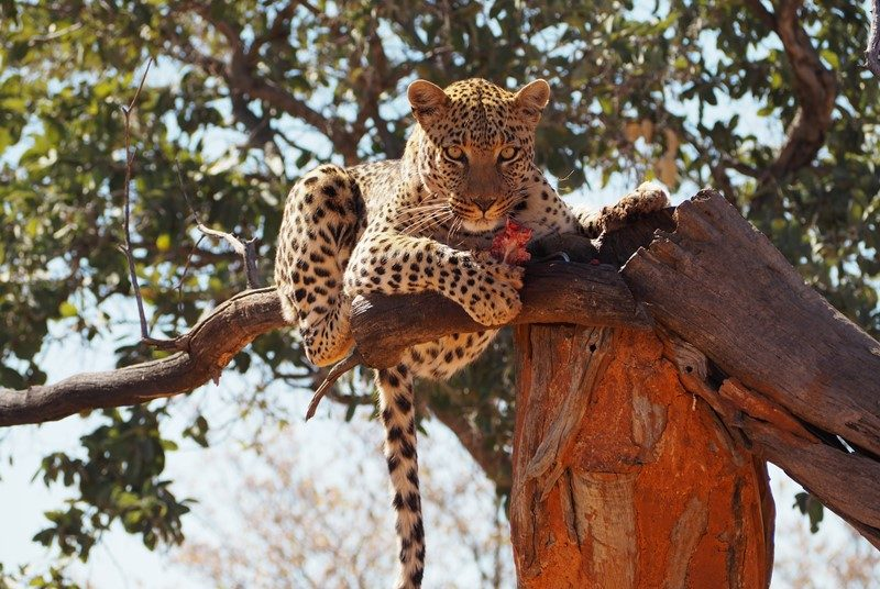 Leopard in der Africat Foundation