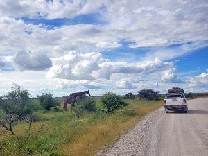 Namibia - Giraffe trifft Auto im Etosha Nationalpark - 2 Wochen Namibia