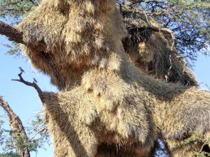 Namibia - Kahalari - Vogelnest - Namibia Familienreise