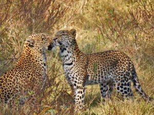 Leoparden im Chobe Nationalpark
