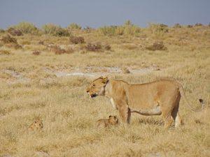 Löwen auf Safari beobachten