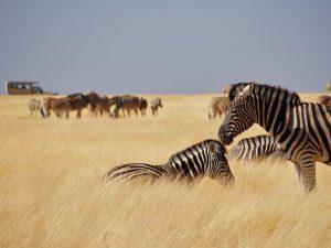 Zebras im Nationalpark beobachten