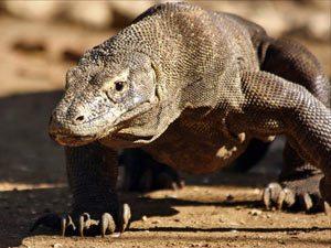 Rundreise Bali & Komodo: Komodowarane auf Komodo