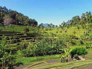 Rundreise Bali & Komodo: Reisfelder in Ubud