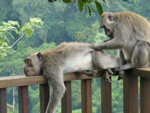 Bali Rundreise: Affen in Ubud