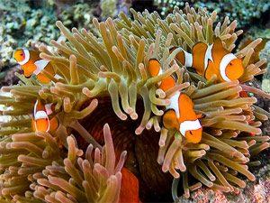 Bali Rundreise: Clownfische in Pemuteran