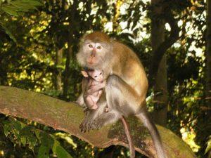 Bukit Lawang: Im Dschungel sind viele Affenarten zuhause