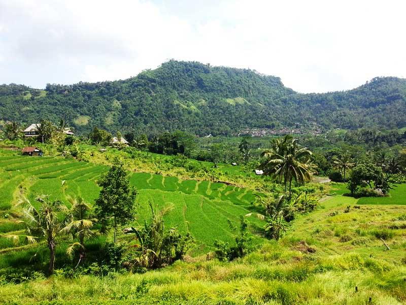 Tiefgrüne Reispflanzen und Palmen bei Sidemen