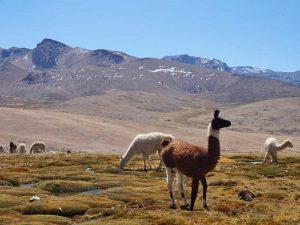 lama-alpaca-peru