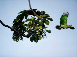 papegaai-peru