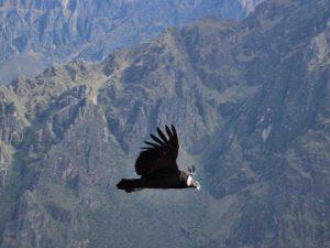 condor-canyon-peru