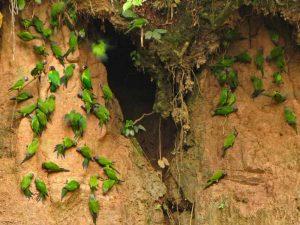claylick-papegaaien-peru