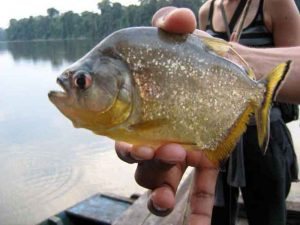 lodge-puerto-maldonado-piranha