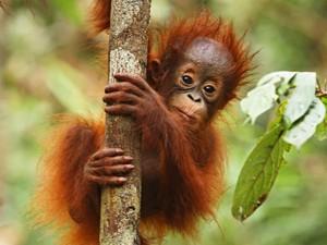 reizen borneo orang oetan